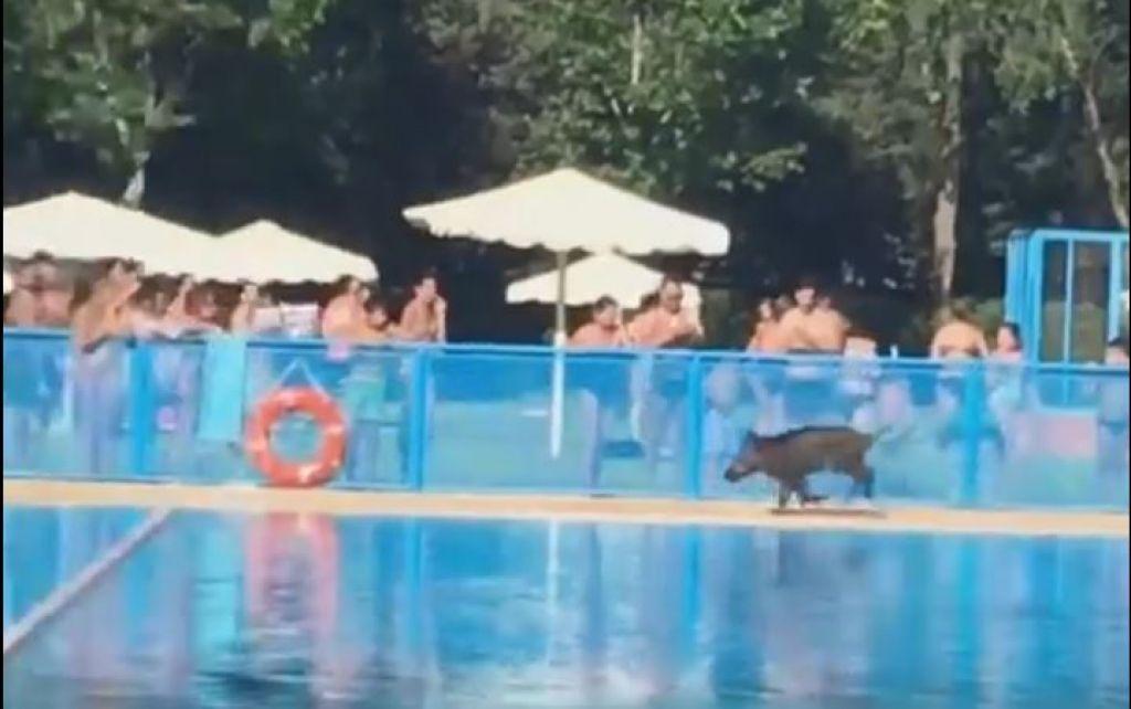 Un jabal se cuela en una piscina de la regi n y el video for Piscinas tomelloso
